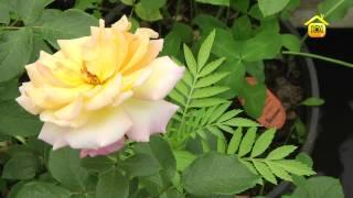 Розы. Посадка и уход // FORUMHOUSE(Как создать для розы оптимальные условия для роста и цветения. Посадка, уход и укрытие на зиму. http://www.forumhouse.t..., 2012-06-26T04:33:12.000Z)