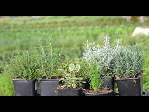 Produccion De Plantas Aromaticas Medicinales