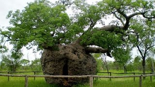 20 Most Famous Trees in the World - Video Famous Trees