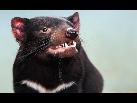Tasmanian Devils Rapidly Evolving To Beat Cancer