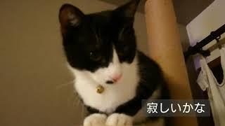 ハチワレきょうだいの子猫を保護して5ヶ月目 フクちゃん♀一泊入院の避妊...