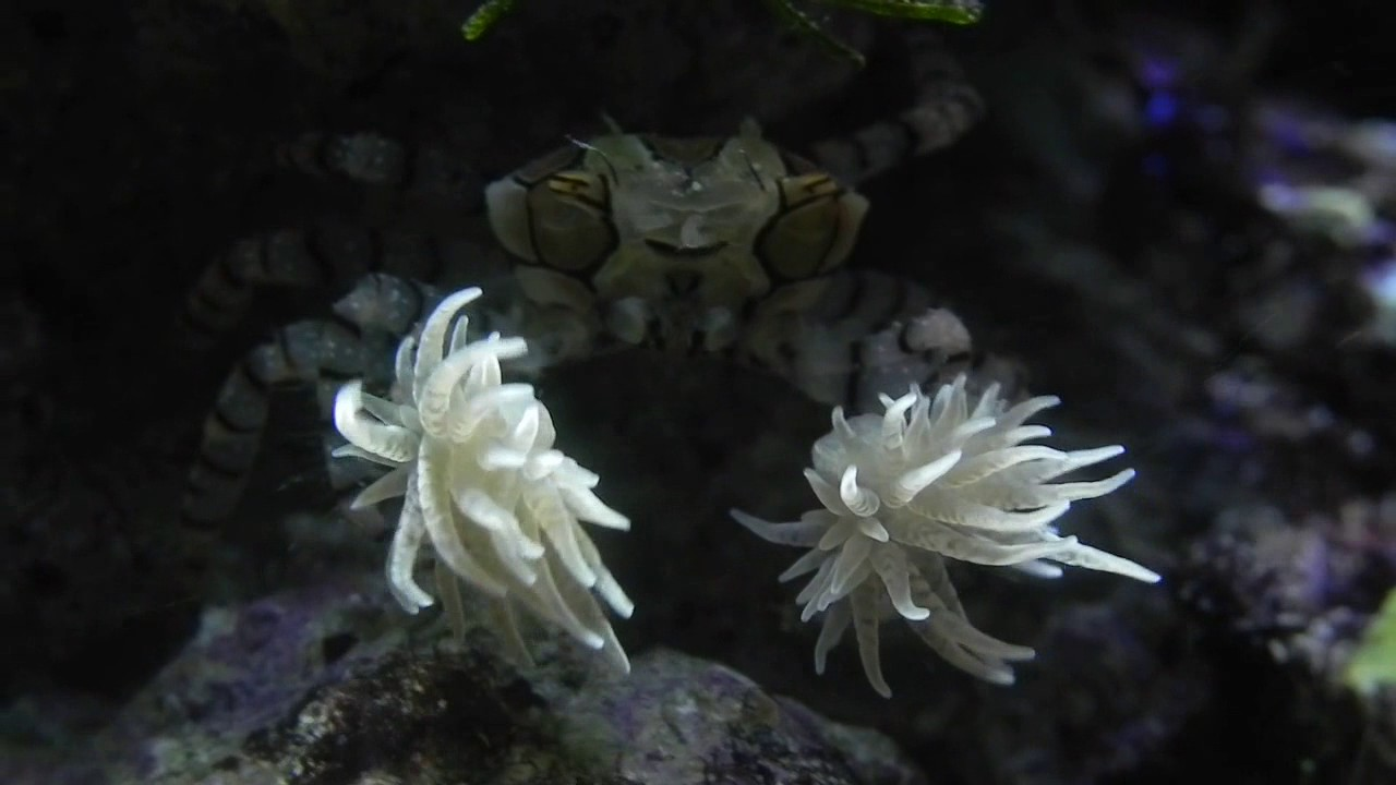 A Boxer Crab that Wears Sea Anemone Boxing Gloves