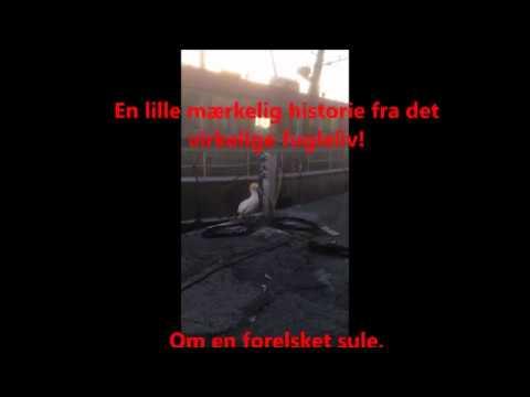 Forelsket sule -  maj 2017 - Christiansø