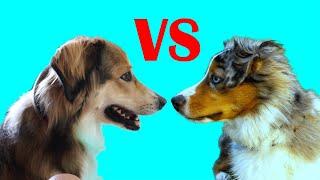 English Shepherd Dog vs Australian Shepherd | What's the difference?