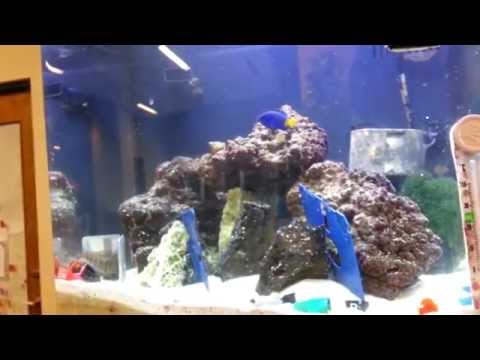 Six Line Wrasse Introduction 20150430 170441