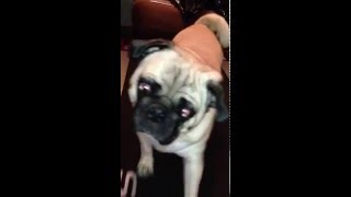 Pug Trying To Lose Weight