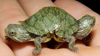 Редкие зелёные черепахи