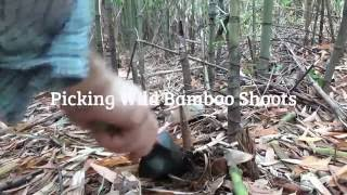 Edible Wild Bamboo たけのこ Grass Shoots and Cooking tips: Foraging Japan