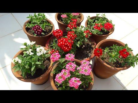 How To Grow And Care Verbena || Care Of Verbena Plant