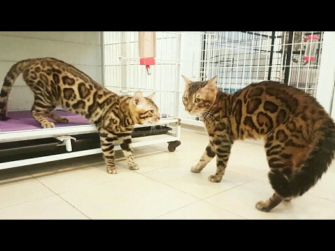 Bengal Cats Play 17 Stunning
