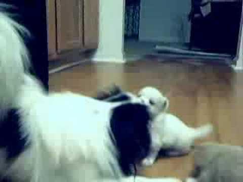 Shih Tzu Japanese Chin Mix Puppies Youtube