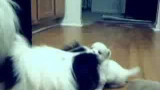 Shih Tzu ~ Japanese Chin Mix Puppies