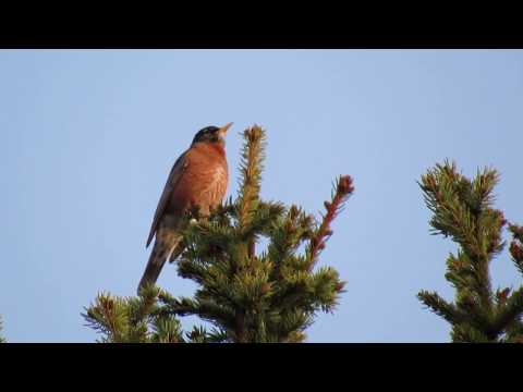 Red Robin Mating Calls