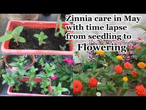 How To Make Leggy Zinnia More Bushy With Lots Of Flowers/May Me Zinnia Lagae