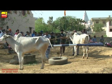 JAMSHER KHAS (Jalandhar)    ਬਲਦਾਂ ਦੀਆਂ ਹੱਲਟ ਦੌੜਾਂ - 2016    Full HD    Part 2nd