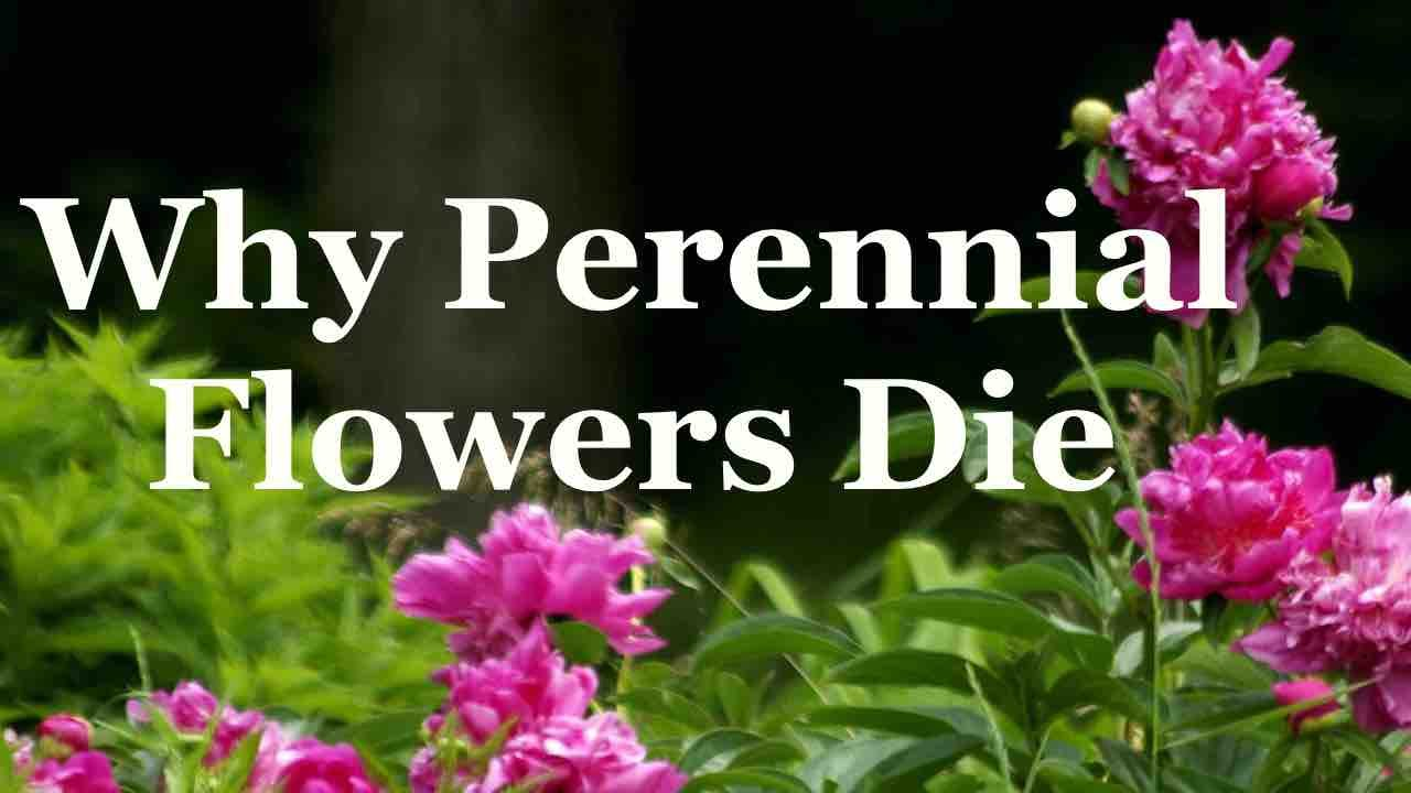 Why Perennial Flowers Die Youtube