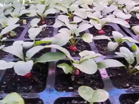 Выращивание редиса на даче