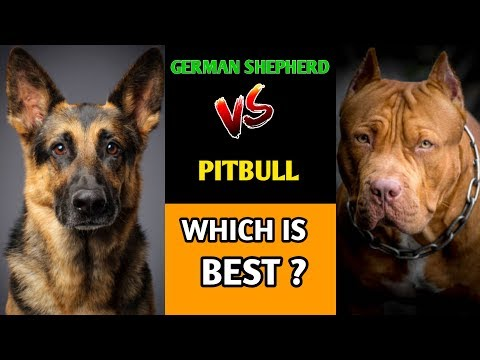 German Shepherd VS Pitbull Real Dog Fight 2018 – Blondi ...