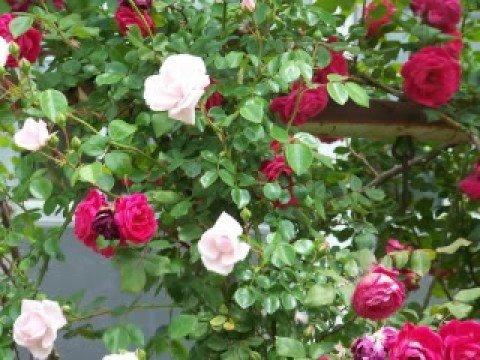 rose garden daniel o 39 donnell sings youtube