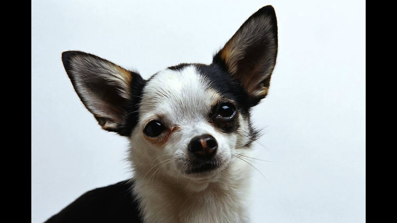 short coat chihuahua short haired chihuahua youtube 3744