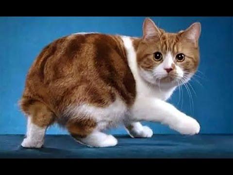 Короткошерстные кошки Кошки фото и описание - YouTube
