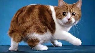 Короткошерстные кошки   Кошки  фото и описание
