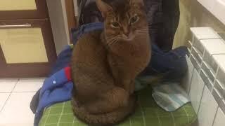 Супер . Моя абиссинская кошка самая красивая и добрая .