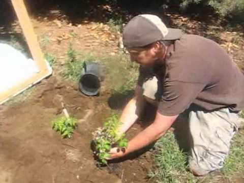 Tomato Cold Frame For High Desert: Heirloom Rock Garden - YouTube