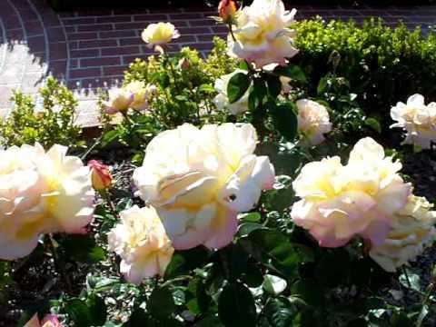 Peace Hybrid Tea Rose Mov Youtube