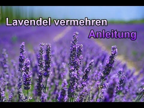 Lavendel Durch Stecklinge Vermehren Lavendula Pflanzen Selber