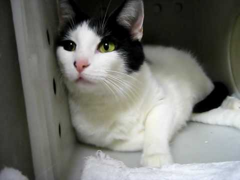 Peanut, White and Black Cat, Blind in one Eye, LOVES PEOPLE, LOVES LIFE, NEEDS SAVIOR!