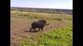 наглый дикий кабан в огороде(, 2016-08-29T18:57:59.000Z)