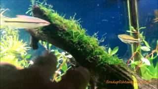 How To Tie Moss To Driftwood...java Moss On Driftwood