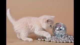 Нежный кремово-персиковый мальчик Лис! Настоящий британский котенок!