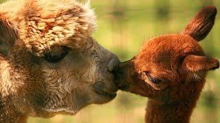 Животные и их детеныши.Развивающее видео для малышей/Animals and kids Поделки своими руками