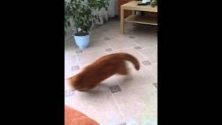 Кот экзот играет - приносит игрушку . Cat playing