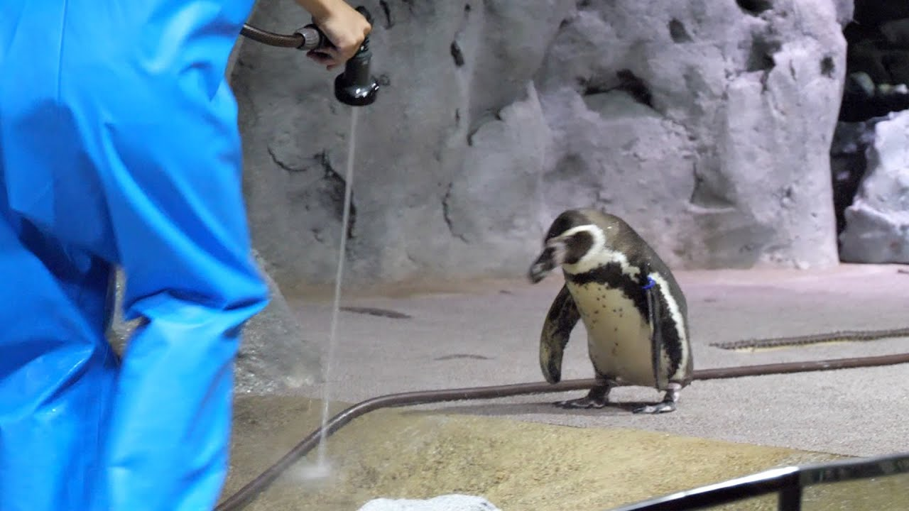 DMMのペンギン(penguins in Okinawa)