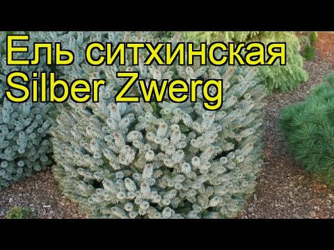 Ель ситхинская Силбер Цверг. Краткий обзор, описание характеристик Picea Sitchensis Silber Zwerg