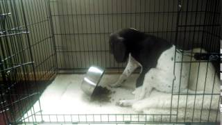 Kiji, German Shorthaired Pointer, dining her way | Fergie's Mess