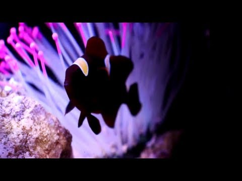 A Clown Fish Hosting A Plastic Anemone