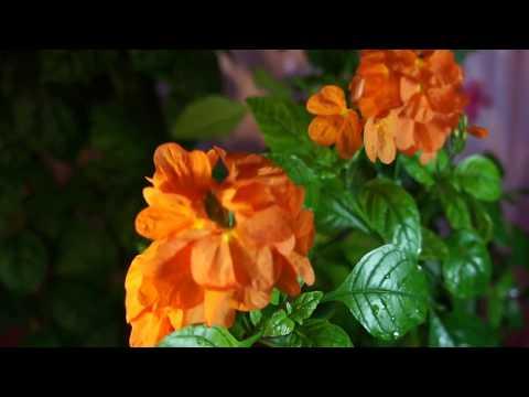 16.05.17. Кроссандра цветёт ( мой опыт выращ 5 лет) и Клеродендрум г Томпсон ( спустя, почти 2 мес )