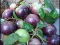 Milk Fruit   ផ្លែដោះគោ