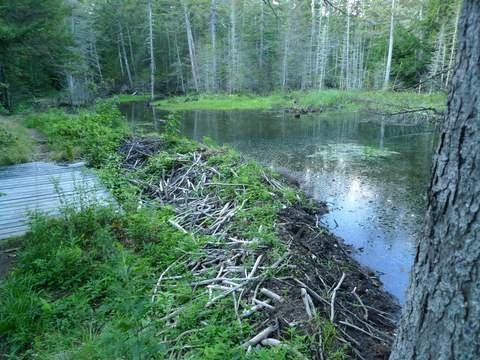 Trout Fishing A Beaver Pond
