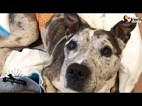 Senior Dog's Family Treasures Every Single Day With Him | The Dodo Pittie Nation