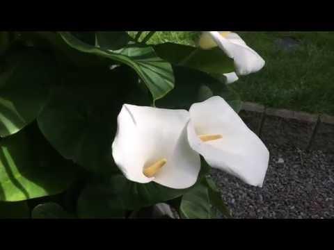 SOME CALLA LILLY CARE TIPS: GIANT CALLA LILLY Zantedeschia aethiopica IN FULL BLOOM1080p