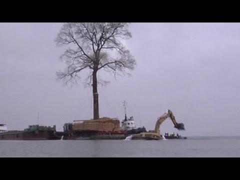 Бывший премьер Грузии пытается перевезти по морю гиганское двухсотлетнее дерево