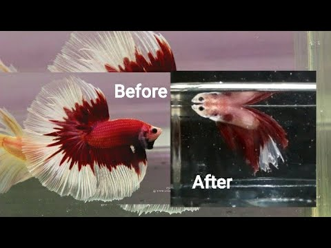 HOW TO SAVE A DYING BETTA