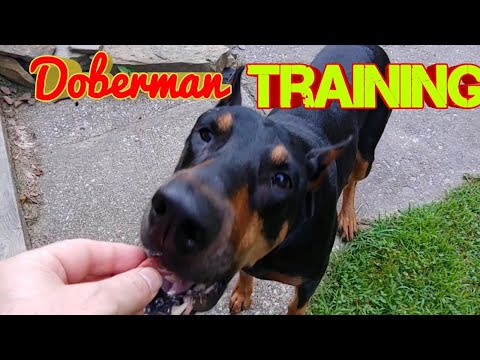 Doberman Pinscher Leash Training retraining and teaching a dog manners in public