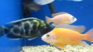 Аквариумная рыбка - Золотой Леопард. Содержание и уход.