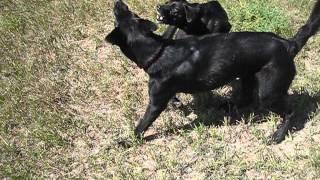 Herding Puppies
